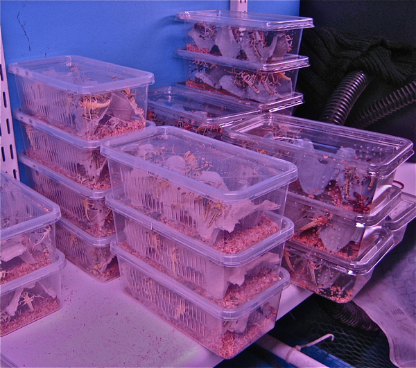 Live locusts for sale