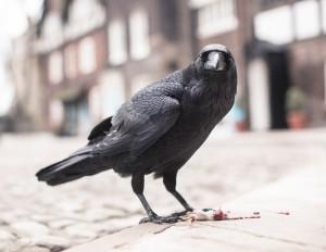 Ravens_008