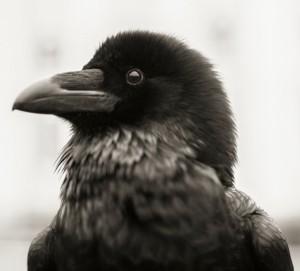Ravens_009