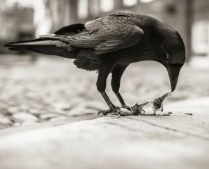 Ravens_011