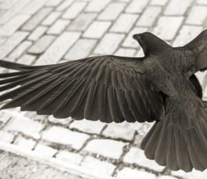 Ravens_012