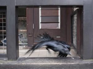 Ravens_016