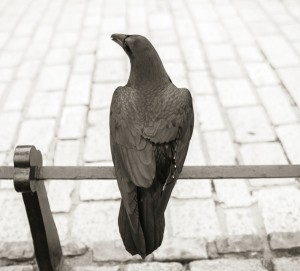 Ravens_019