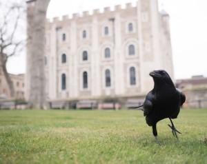 Ravens_027