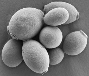 S. cerevisiae NCYC 1026